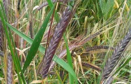 Conservatoire de blés et orges anciens à Lapanouse